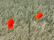 Orange-scarlet poppy bloom in colorless corn field stock images