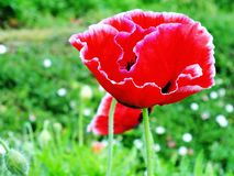 Red poppy blooming on field nature background Stock Images