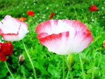 Red poppy blooming on field nature background Royalty Free Stock Photography