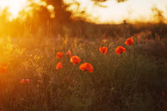 Red poppy blooming on field. Red poppy flowers in the oil seed r Stock Photo