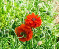 Red poppy blooming on field. Wild red poppies flowers. Poppies in nature. Stock Photography