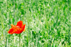 Red poppy blooming on green field background Royalty Free Stock Images