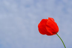 Red poppy blossom Royalty Free Stock Photos