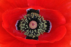 A red poppy blossom Stock Photo