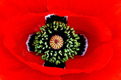 A red poppy blossom Royalty Free Stock Photo