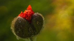 Red poppy. Blossoms with dew Stock Photos