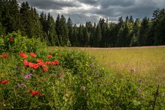 Red poppy blossoms in front of meadow and dark forest stock photo