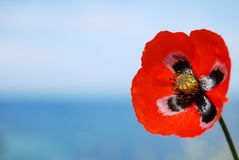 Red poppy on blue Stock Photos
