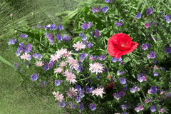 Red poppy among blue flowers stock photography
