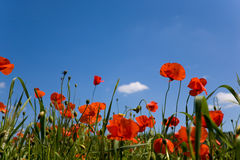 Red poppy blue sky. Field with red poppies and grass  against a blue sky Royalty Free Stock Photos