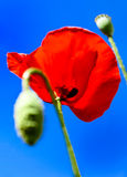 Red poppy on blue sky Royalty Free Stock Images