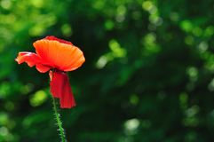 Red poppy with blurred green natural background Stock Photography