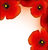 Red poppy border. Fresh red poppy border isolated on white background with text space stock photo