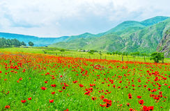 The red poppy Royalty Free Stock Photography