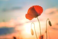 Red poppy. Bright flower spring. One poppy flower. Bright sunset. Spring flowers Stock Images