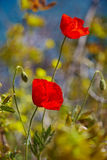 Red poppy. Royalty Free Stock Photo