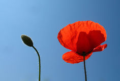 Red poppy and bud against blue sky Stock Photo