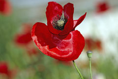 Red poppy bud Royalty Free Stock Image