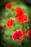 Red Poppy and Bud - field flower - macro Stock Photography