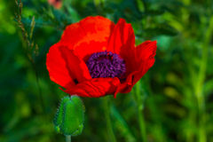 Red Poppy Stock Photo