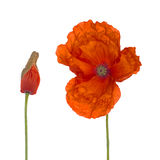 Red poppy and bud on white. Stock Images