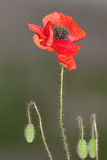 Red poppy with buds Stock Image