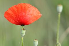 Red poppy and buds Royalty Free Stock Images