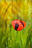 Red poppy on cereal field Royalty Free Stock Image