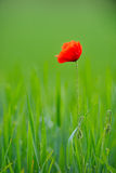 Red poppy on cereal field in summer Stock Image