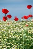 Red poppy and chamomile flower Royalty Free Stock Image