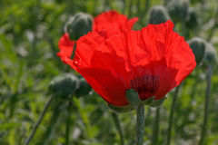 Red poppy. Close up of red poppy Stock Photos