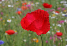 Red poppy. Close up of red poppy Royalty Free Stock Image