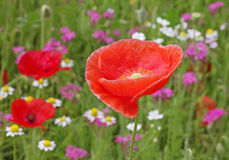 Red poppy. Close up of red poppy Stock Image