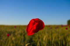 Red poppy close-up against a wheat field stock image
