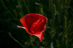 Red poppy close-up against a wheat field royalty free stock images