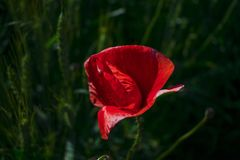 Red poppy close-up against a wheat field royalty free stock photo