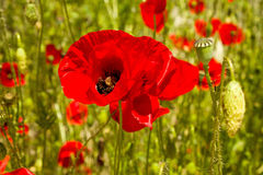 Red poppy. Close-up on a background of poppy field and green leaves Stock Photos