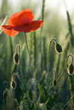 Red poppy close-up into the cereals Stock Images