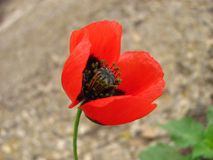 Red poppy close up. Red poppy head blosssoming close up on gray background royalty free stock photography