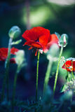 Red poppy Stock Images