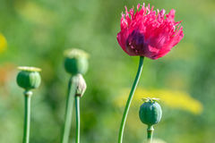 Red poppy. And poppy closed head Stock Photo