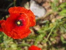 Red poppy common, corn rose, Flanders poppy, weed, coquelicot blooming on field. Red poppy common, corn rose, Flanders poppy, weed, coquelicot blooming on field royalty free stock photos