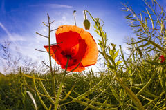 Red poppy in corn field Royalty Free Stock Image