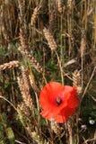 Red Poppy in corn field. Stock Image