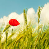 Red poppy Royalty Free Stock Image