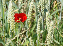 Red poppy in corn field Royalty Free Stock Photography
