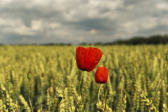 Red poppy in a cornfield Stock Images