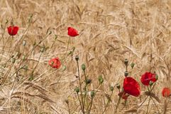 Red poppy in a cornfield. Nature background of cornfield with poppies Stock Image