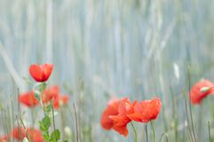 Red poppy in a cornfield. Nature background of cornfield with poppies Stock Images
