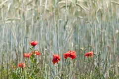 Red poppy in a cornfield. Nature background of cornfield with poppies Stock Photos